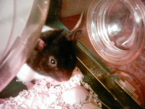 Picture of my hamster Lucy