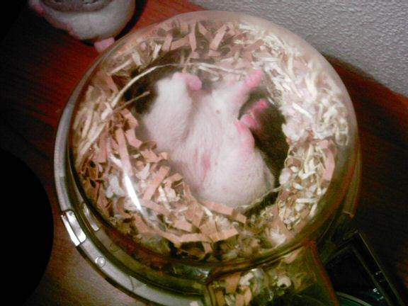 Picture of my hamster Lucy sleeping