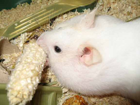 Picture of my hamster Lucy hoarding some corn.