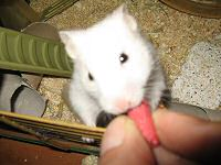My hamster Lucy enjoying a Beetroot Stick from Hope Farms.