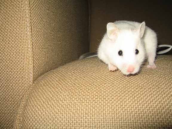 My hamster Lucy having fun on the couch!