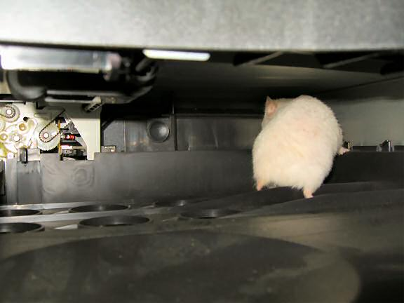 My hamster Lucy exploring the inside of my printer.