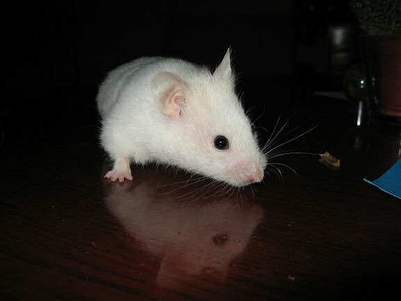 My hamster Lucy on the coffee table during a photoshoot.