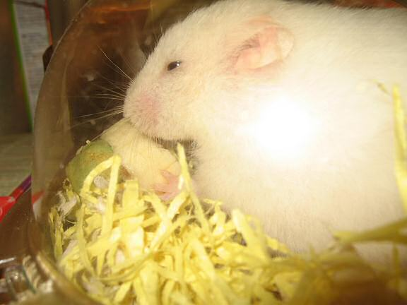 My hamster Lucy enjoying her Hamster-Banasplit/Cake.