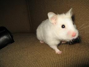 My hamster Lucy on the couch.