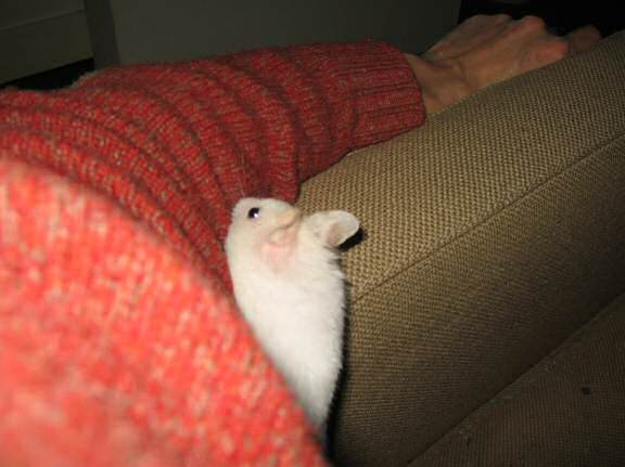 My hamster Lucy on the armrest of the couch.