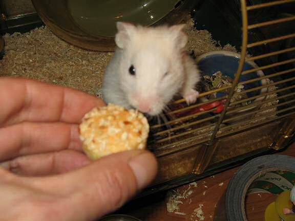 My hamster Lucy getting her first Vitakraft Muffin.