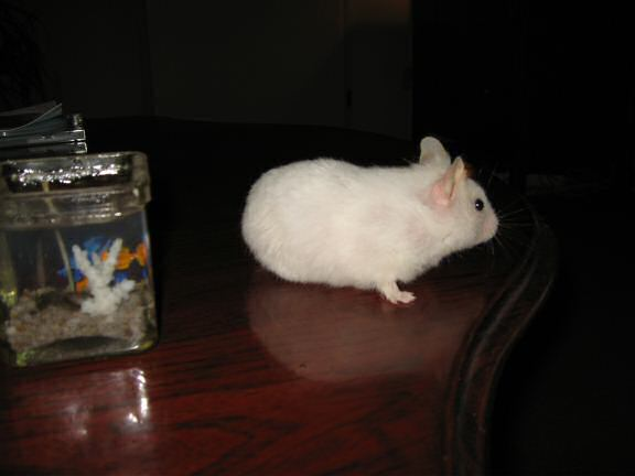My hamster Lucy next to the 'aquarium candles' on the coffee-table.