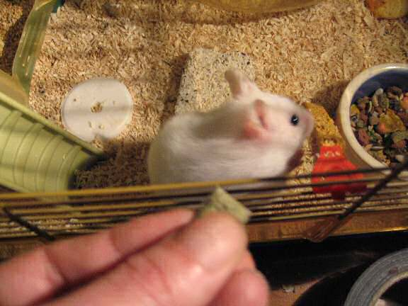 My hamster Lucy and her Vitakraft fruit Crossys