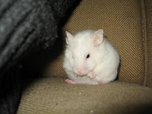 My hamster Lucy washing up on the couch.