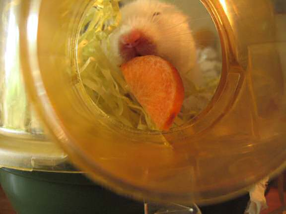 My hamster Lucy enjoying a piece of carrot.