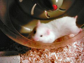 Picture of my hamster Lucy running in her treadmill