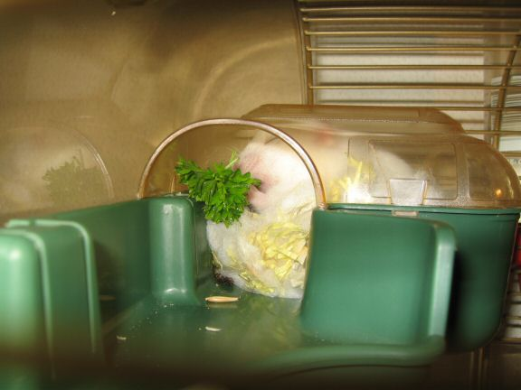 Picture of my hamster Lucy enjoying her parsley.