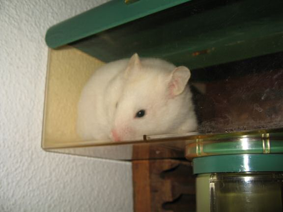 Picture of my hamster Lucy exploring new territory.