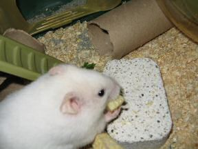 Close up of my hamster Lucy: 'Mmmmmmmmmmmmmmmmmmmmmm!'