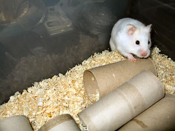 Picture of my hamster Lucy waiting on her bedroom being cleaned.
