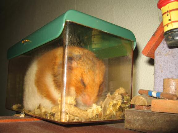 My hamster Lucy no minding the new HamsterTracker(tm) server.