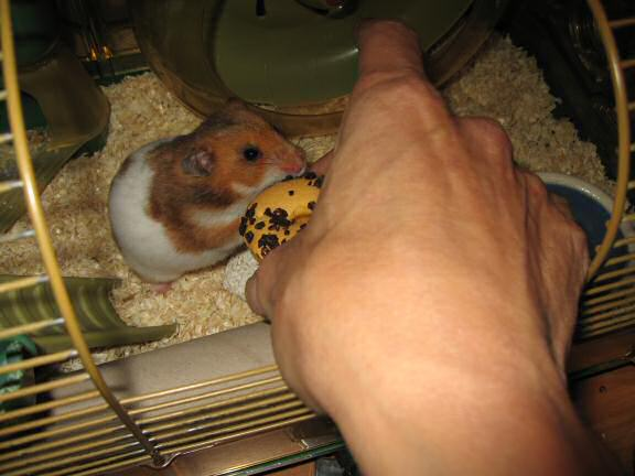 My hamster Lucy (3.0) being challenged by me.