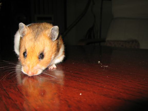 My hamster Lucy (3.0) being on the coffee-table for the first time.