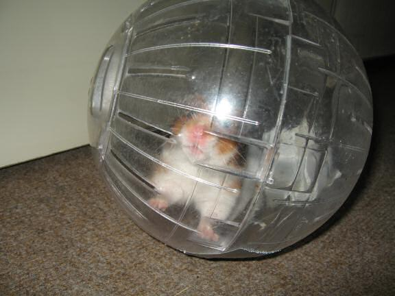 My hamster Lucy (3.0) in her Explorer Ball.