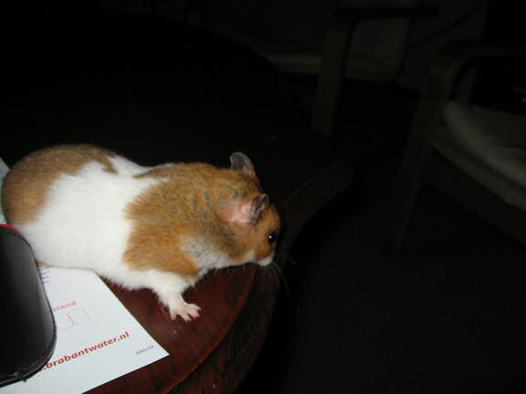 My hamster Lucy (3.0) explorin' the coffee table.