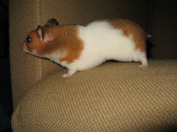 My hamster Lucy (3.0) on the couch.