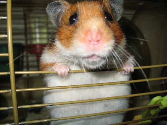 My hamster Lucy on New Years day.
