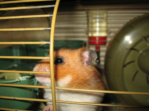 My hamster Lucy negotiating pine-seeds...