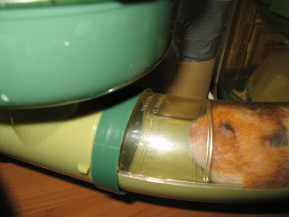 My hamster Lucy pouchin' a WHOLE peanut ! (and more ... )