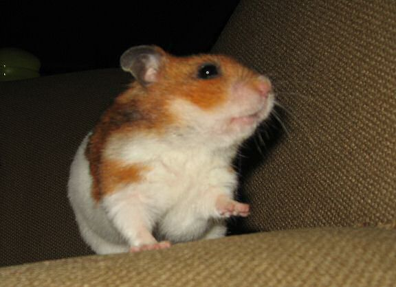 My hamster Lucy dancin' to tha tunes on the couch !