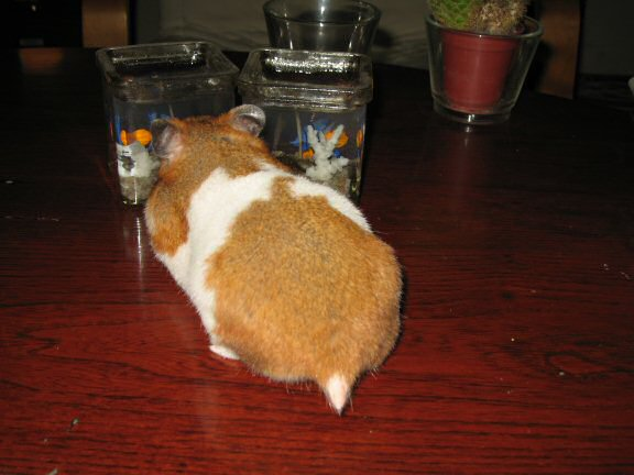 Coffee Table Fun with my hamster Lucy.