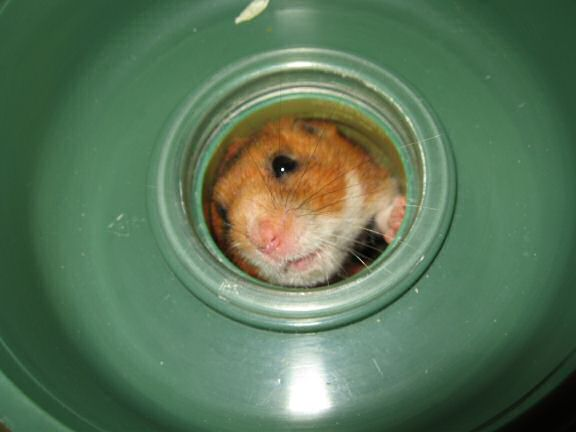 My hamster Lucy on cleaning ...