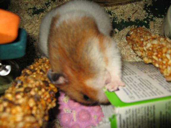 Cardbox Chewing by my hamster Lucy.