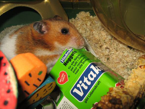 Serving my hamster Lucy a cardboard box instead of a TP-roll.