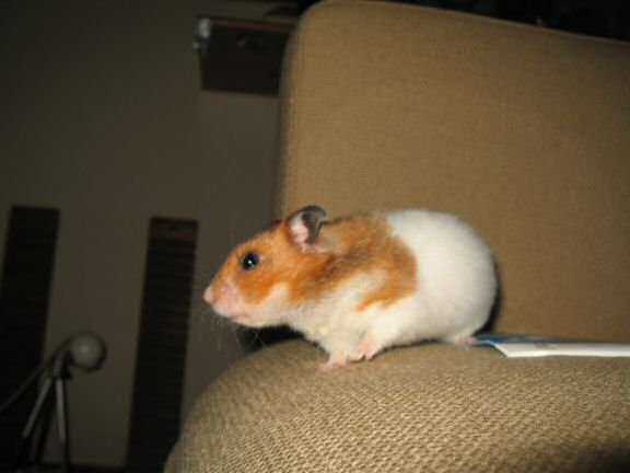 Quality Time on the Couch with my hamster Lucy.