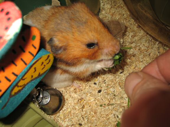 My hamster Lucy gets served a nice portion of Parsley!