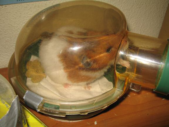 My hamster Lucy getting her bedroom cleaned.