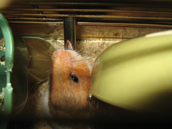 My hamster Lucy having a drink from her waterbottle.