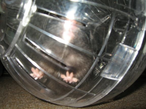My hamster Lucy her first time in her Explorer Ball...