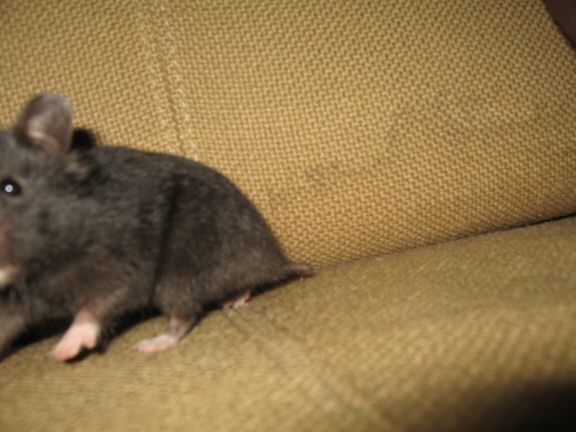 My hamster Lucy her first time on the couch...