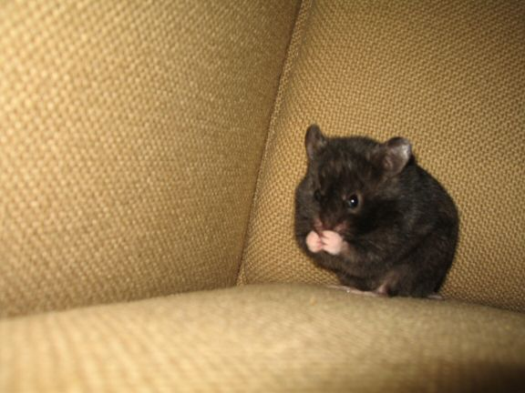 More Couch-Time with my hamster Lucy...