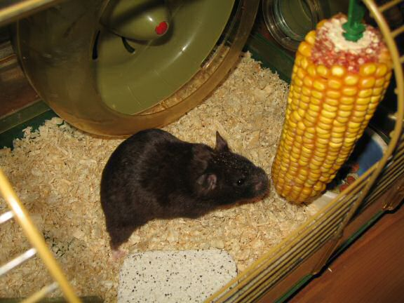My hamster Lucy's: Corn She Wants = Corn She Gets!
