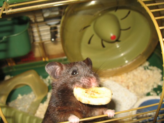 My SWEET hamster Lucy...