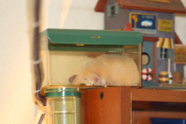 Lucy is adjusting to the HamsterTracker™-Life !