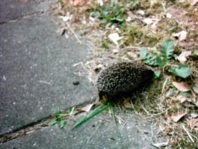 Picture of a baby hedgehog having a look around in my front garden