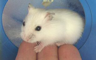 Picture of Lilly, the dwarf hamster Lucy Look-a-Like